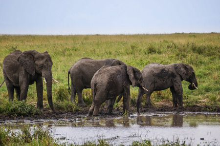 muddy:  elephants standing in the muddy pool side