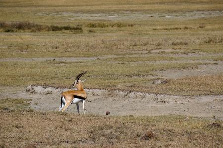 gazelle: african gazelle