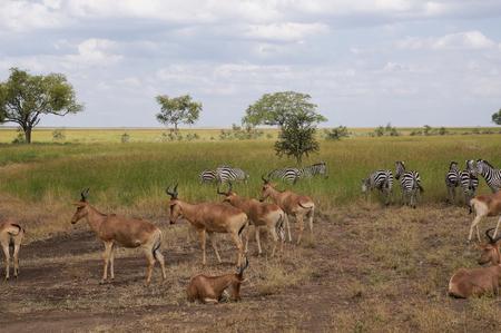 springbok: zebra and springbok