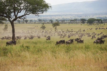 wildebeest:  herds of blue wildebeest migration