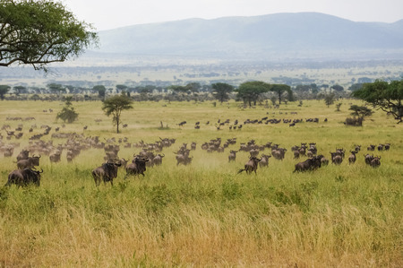 wildebeest:  herds of blue wildebeest