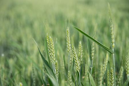 champ de blé vert et journée ensoleillée, à l'extérieur