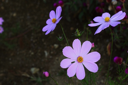 scenary: nature scenary with pink cosmos flowers Stock Photo