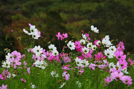 scenary: nature scenary with white and pink cosmos flowers