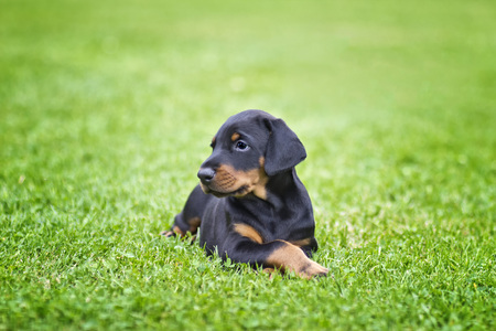 Doberman puppy in grass. Puppy lies on the green grass. He is black and brown and so cute. Stock Photo
