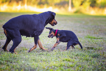 Puppy is playing with his mother. She is a black and brown doberman breed and she is on the garden or park. Background is green grass. She has red collar. 免版税图像