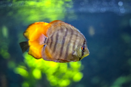 Symphysodon, known as discus, is a genus of cichlids native to the Amazon river basin in South America. The fish has grey color with dark gray stripes and orange fin. Background is green. Stock Photo
