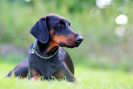 Portrait of Doberman lying in green grass in park. Background is green. It's a close up view. He's a slim young girl. 스톡 콘텐츠