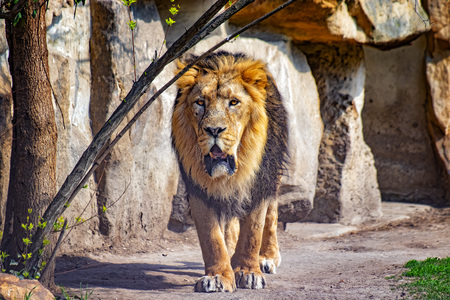Close up photo of Barbary lion. He is going. The background is a rock. It is African lion. The Barbary lion was a Panthera leo population in North Africa. It is big male lion.