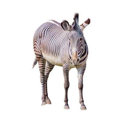 Close up photo of Chapman's zebra isolated on the white background, equus quagga chapmani. It is subspecies of the plains zebra. They are native to the savannah of north-east South Africa. It is wildlife animal.