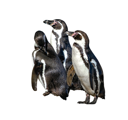 Group of three Humboldt Penguins, Spheniscus humboldti,isolated on the white background. The penguin is a South American penguin that breeds in coastal Chile and Peru. It is photo with cute animals.