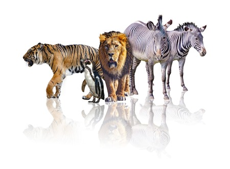 Group of African Safari animals walking together. It is isolated on the white background. It reflects their image. There are zebras, lion, tiger and penguin.