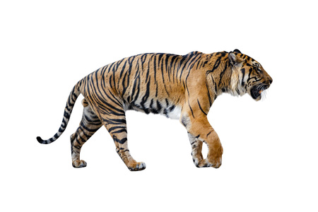 Close uo of tiger isolated on the White background.