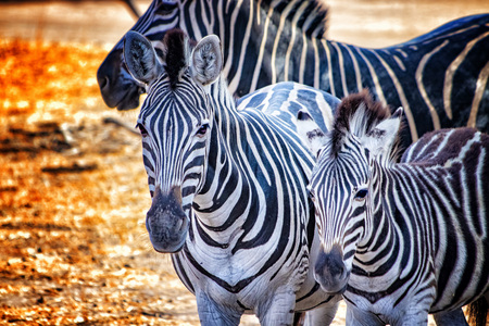 Close up photo of zebras in Bandia resererve, Senegal. It is wildlife animals photography in Africa. There is mother and her zebras baby. There is sunny day.