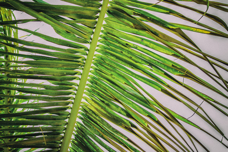 Close up vintage photo of palm leaf, Abstract green texture and natural background. It is tropical tree. 免版税图像