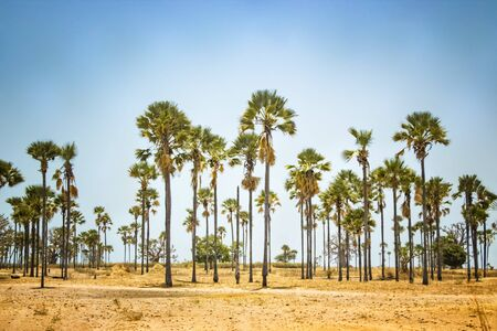 Palm grove standing in the middle of desert in Senegal, Africa. The background is blue sky. It's a natural background. It's summer weather.