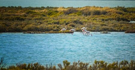 A group of pink flamingos walk in the water of the Mediterranean sea on the island of Sardinia, Italy. It is beautiful nature background with birds.