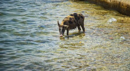 The pig bathes and swims in the sea and drinks water. It is a wildlife photo in Senegal, Africa. It's summer.