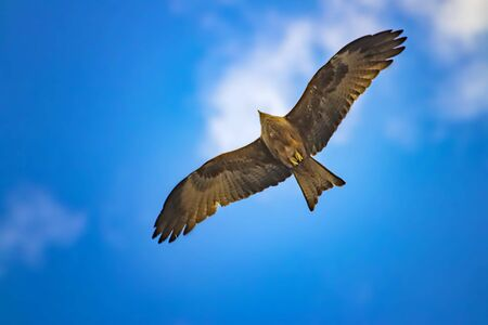 Black kite, Milvus migrans in flight in Senegal, Africa. Close up photo of big eagle. It is wildlife photo. There is blue sky. There is sunny day. Фото со стока
