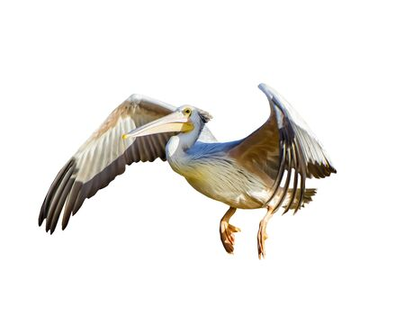 The Pink-backed Pelican or Pelecanus rufescens is flying. It is isolated on the white background. It is wildlife photo. Banque d'images - 135442687