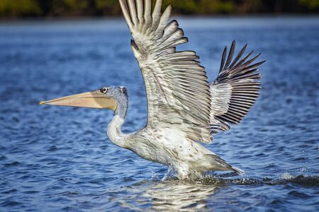 White Pelican,Pelecanus rufescens is flying and landing on the surface of the sea lagoon in Africa, Senegal. It is a wildlife photo of bird in wild nature. It is summer.