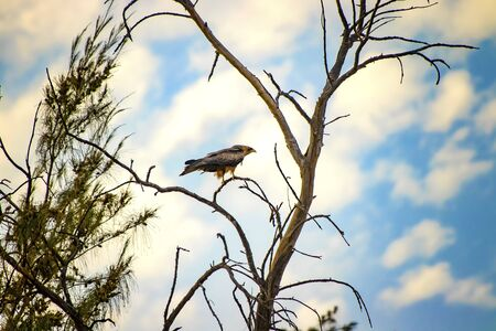 Black kite, Milvus is standing on the tree in Senegal, Africa. Close up photo of big eagle. It is wildlife photo. There is blue sky. There is sunny day.