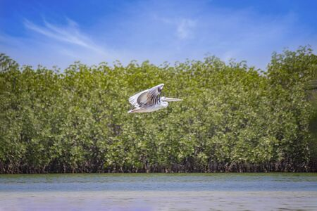 Flying pelican above the water surface in Saloum Lagoon, Senegal. In the background are green mangroves. It is a wildlife photo. It is a bird sanctuary in Africa. It is summer.