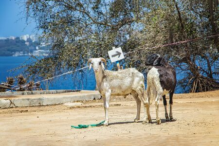 Two goats standing side by side on the island of Goree, Senegal. Opposite to see the city of Dakar, Africa. Goats are kept here for milk and meat. Stock fotó