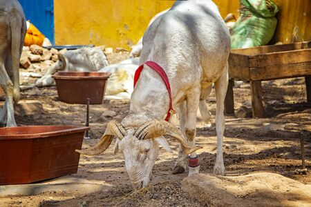 Goat on a typical dusty yard in Goree, Senegal. Its near Dakar, Africa. The goat eat food on the ground and behind them hang on the clothesline. It is a sunny day. 版權商用圖片