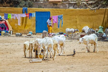 Herd of goats on a typical dusty yard in Goree, Senegal. Its near Dakar, Africa. The goats eat food from the avalanche on the ground and behind them hang on the clothesline. It is a sunny day.