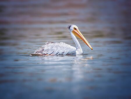 The Pink-backed Pelican or Pelecanus rufescens is floating in the sea lagoon in Africa, Senegal. It is a wildlife photo of bird in wild nature. It is sunny day. Banco de Imagens
