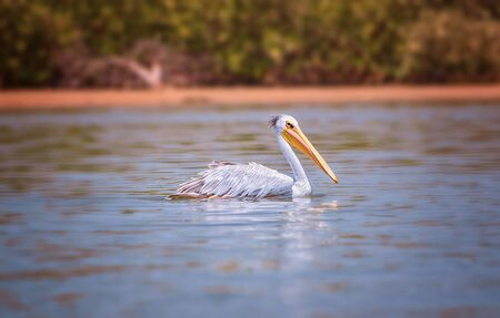 The Pink-backed Pelican or Pelecanus rufescens is floating in the sea lagoon in Africa, Senegal. It is a wildlife photo of bird in wild nature. It is sunny day. Banco de Imagens - 138139085