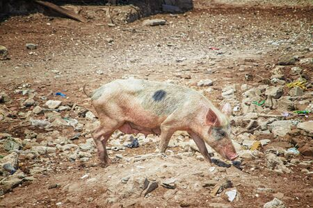 A pink pig running on Fadiouth Island in Senegal, Africa. There is garbage around. There is garbage around. It is the only place in Senegal where pigs are kept. It is sunny day. Stock fotó