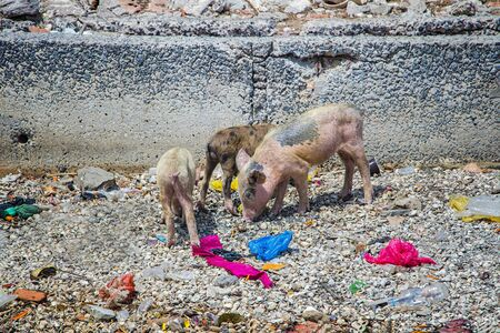 Group of small pink pigs are looking for food on the ground on Fadiouth Island in Senegal, Africa. There is garbage around. It is the only place in Senegal where pigs are kept. It is sunny day.
