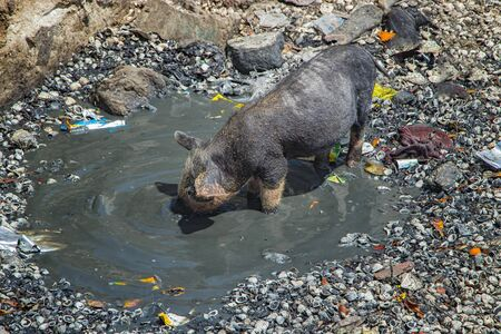 A small pig or piglet is bathed in a dirty pool on Fadiouth Island in Senegal, Africa. There is garbage around. It is the only place in Senegal where pigs are kept. It is sunny day. Stock fotó