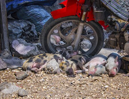 A small pink pigs are sleeping in the shade of an old motorbike on the ground from shells on Fadiouth Island in Senegal, Africa. It is the only place in Senegal where pigs are kept. It is sunny day.