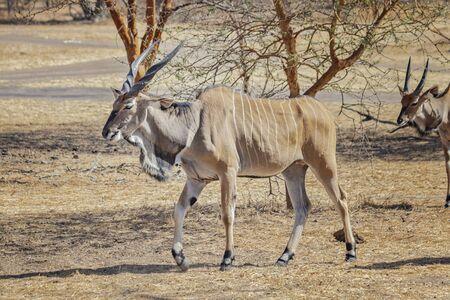 La photo en gros plan de l'élan géant, également connu sous le nom d'éland de Lord Derby dans la réserve de Bandia, au Sénégal. C'est une photo sauvage d'animal en Afrique. C'est la plus grande espèce d'antilope. Il y a une journée ensoleillée. Banque d'images