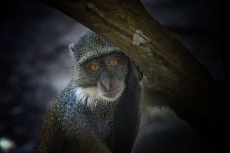 Monkey, Cercopithecus albogularis, sitting on a tree and looking. Is cute. He leans his hand on a branch. It is a wildlife photo in Africa, Kenya.