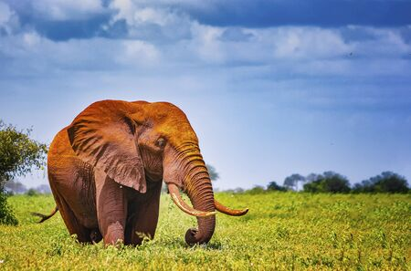 African elephant stand in the long grass, Africa. Their skin is red from the local soil. It is a wildlife photo of Tsavo East National park, Kenya.