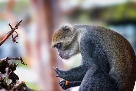 A monkey, Cercopithecus albogularis, sits on a tree and eats food. He licks his hand. Hes got saliva from his mouth. It is a wildlife photo in Africa, Kenya.