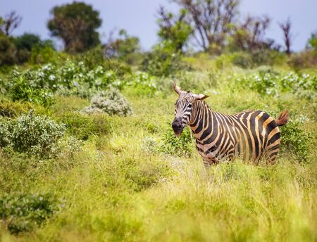 Grevys zebra stands in the tall grass and sticks his tongue out. It is a wildlife photo in Africa, Kenya, Tsavo East National park. Imagens