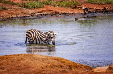 Grevys zebra standing in the water in a lake. Bathe, cool and drink. It is a wildlife photo in Africa, Kenya, Tsavo East National park.