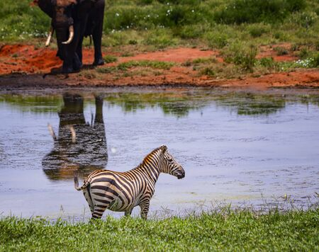 Grevys zebra stands by the pond. In the background stands an elephant. It is a wildlife photo in Africa, Kenya, Tsavo East National park. Imagens