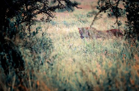 Lion female hiding in long grass in the shadow. It is a wildlife photo in Africa, Kenya.
