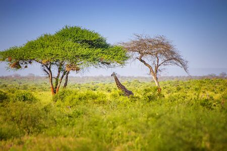 Giraffe standing in tall grass in Tsavo East National Park, Kenya. Hiding in the shade under high trees.