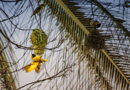 A small yellow bird feeds young in its nest on a tree in Tsavo East in Kenya, Africa. The nest is made of green grass. It is a beautiful day.