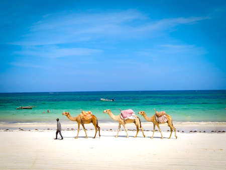 Diani beach, Kenya, FEBRUARY 24, 2020: A man leads three dromedaries along the beach where people can ride. In the background is a beautiful Indian Ocean. It's a sunny day.