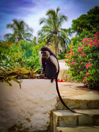 Mantled Guereza, also known as Black-and-White Colobus sitting on small wall at Diani beach in Kenya, Africa. In the background are palm trees and flowers. It is a beautiful sunny day.