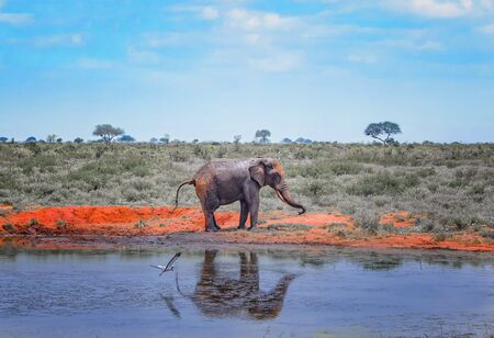 Red African elephant standnext to a watering hole in Africa. It is a wildlife photo of Tsavo East National park, Kenya. His image is reflected in the water. Imagens