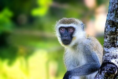 Sykes monkey, Cercopithecus albogularis, sitting on a tree and looking. Is cute. He leans his hand on a branch. It is a wildlife photo in Africa, Kenya.